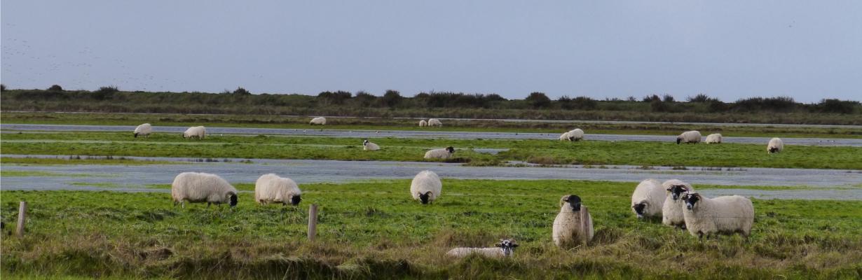 Reserve-Moeze-Oleron-LPO-troupeau-moutons